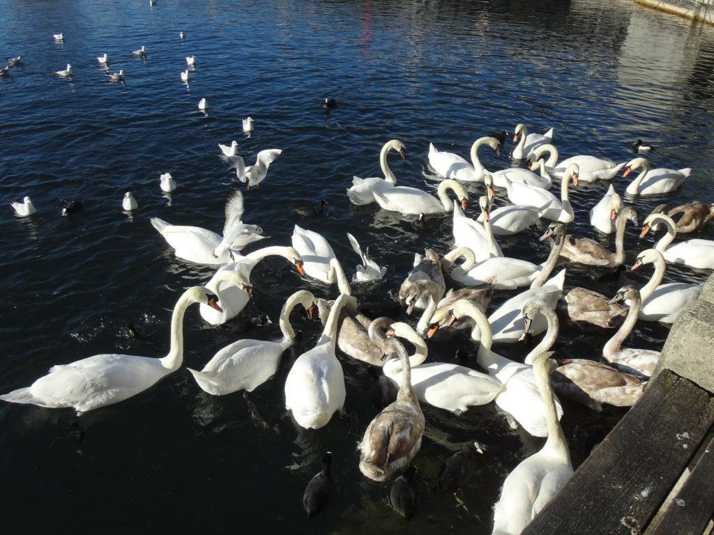 лебединое озеро - кормим птиц
